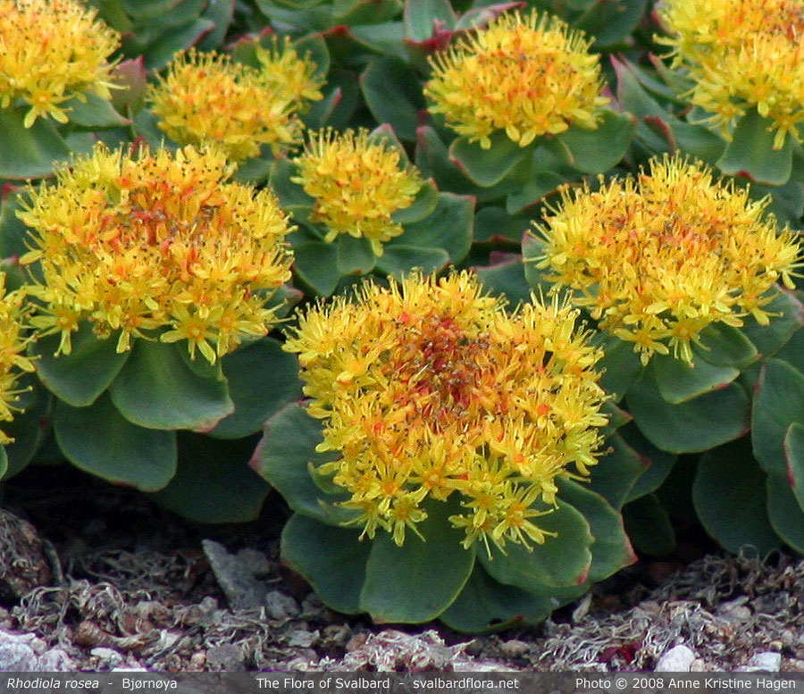 Rhodiola_rosea_close_full