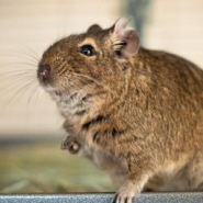 Profile picture of Degu Tender