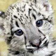 Profile picture of Snow Leopard
