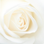 Profile picture of AWhiteRose