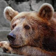 Profile picture of lovable grizzly